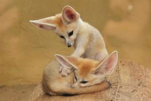 Photos, description of breed fox Fenech, characteristic
