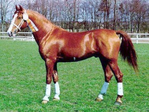 Photos, description Frederiksborg horse breed, characteristic for home breeding and maintenance