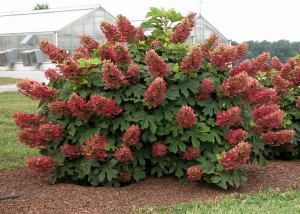 Photos, description bush Hydrangea paniculata, characteristics, cultivation and care at home