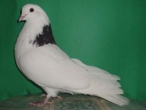 Фото, опис голубів породи Гривуни, характеристика для домашнього розведення і утримання.