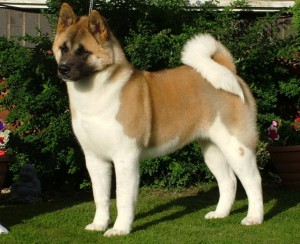 Photos, description and more Japanese breeds of dogs, characteristic for home breeding and maintenance