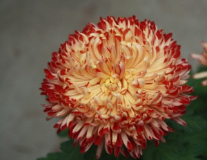 Growing Indian chrysanthemum from seeds near the house, description, tips