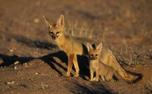 Photos, description South African breed foxes, characteristic features of life