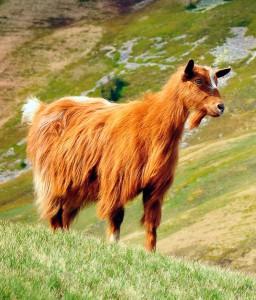 Photos, description Carpathian breed goats