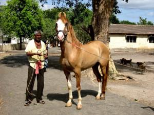 Photos, description Kathiawar horse breed, characteristic of the Indian horses