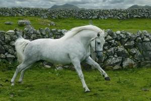 Фото, опис коней поні породи Коннємара, характеристика.