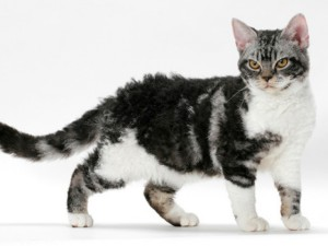 Photos, description cat breed American Shorthair, characteristic for home breeding