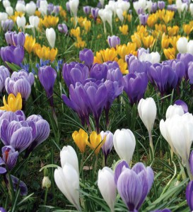 Planting, caring for crocuses, description and a photo