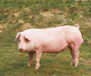 Photos, description Landrace pigs breed, characteristic for home breeding and maintenance