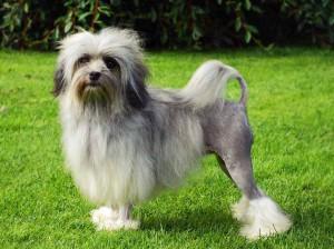 Photos, description dog breed Bichon Lyon (lion dog), characteristic for the domestic breeding