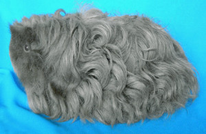 Photo, guinea pig breed Merino description, characteristics