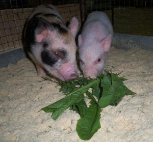 Photos, description miniature pig breeds mini sibling, characteristic for home breeding and maintenance