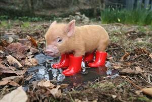 Опис домашніх міні-пігів, який характер у мініатюрних свинок.
