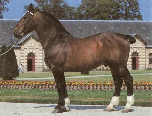 Photos, description Norman Cob horse breed, characteristic for home breeding and maintenance