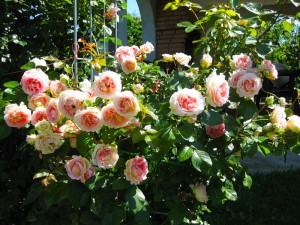 Pruning shrubs and standard roses, photo