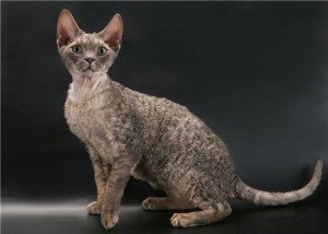 Photos, description cats breed Oregon Rex, characteristic for home breeding