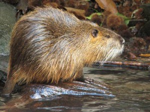 Characteristics and pastel photo nutria, description and content