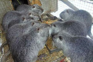 Characteristics and photos of pearl nutria, description and content