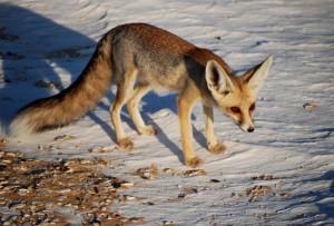 Фото, описание Песчаной лисицы, характеристика породы, особенности жизни.