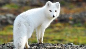 Photos, description of breed fox Arctic fox, beautiful animal, characteristic
