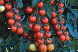 How often to water the tomatoes in the open field, description, tips