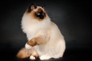 Фото, опис кішок породи Регдолл, характеристика для домашнього розведення і утримання.