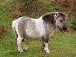 Photos, description Shetland pony breed, characteristic for home breeding and maintenance