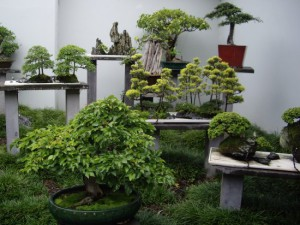 Creating the conditions for the cultivation of bonsai, the description and photo