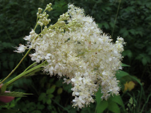 Description and properties of meadowsweet, photo