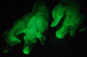 Description Taiwanese rock green pigs that glow, breeding, maintenance and photos