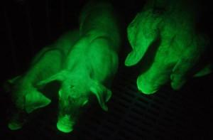 Description Taiwanese rock green pigs that glow, breeding, maintenance and photos