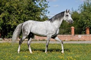 Фото, опис коней породи Терская, характеристика для домашнього розведення і утримання.