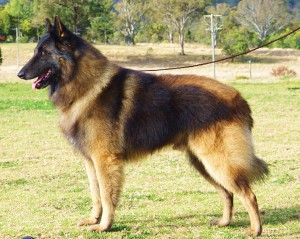 Photos, description Belgian Tervuren dog breed, characteristic for home breeding and maintenance