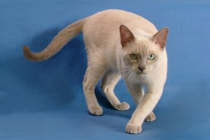 Photos, description Tonkinese cat breed, characteristic for home detention
