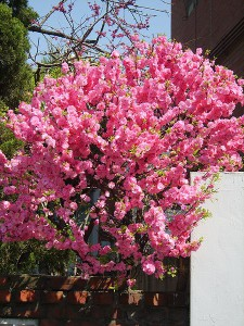 Planting, growing and caring for three-blade almonds, photo and description