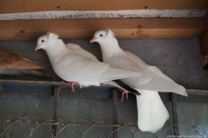 Photos, description pigeons breed Australian Thurman, characteristic for home breeding and maintenance