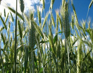 Soil fertilizer system for rye, tips, descriptions and photos