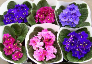 Care violets at home, the description and photo