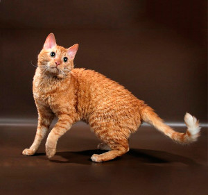 Photos, description breed Ural Rex cats, characteristic for home breeding and maintenance