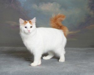 Photos, description of the breed Turkish Van cats, characteristic for home breeding and maintenance