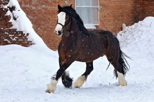 Photos, description Breed Vladimir Heavy Draft horses, characteristic for home breeding and maintenance