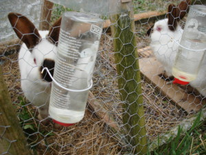How and how much to water the rabbits in winter, summer