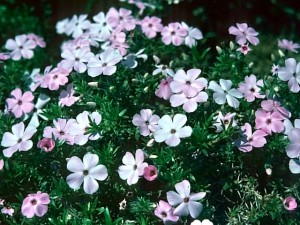 Planting, care and winter forcing phlox, description and a photo