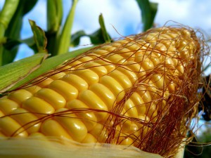 Planting corn in open field, technology, care, cultivation and photos