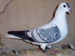 Description South German breed zheltozobyh pigeons, characteristics and photos