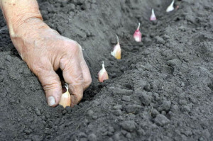 Photos, description and cultivation technology of planting garlic in the open field