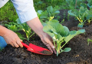 Description of planting and cultivation technology of cauliflower seedlings in open ground, photos, full instructions