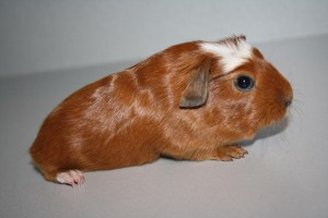 Description American Crested, pet breeding, maintenance, characterization and photo