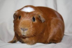Description guinea pigs English Crested, characteristics, content and photos