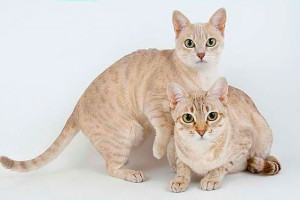 Description of the breed Australian smoky cat or the Australian Mist, characteristics, content and photos